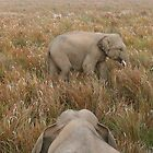 Kaziranga elephant babies by Denzil