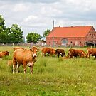 Brown cimmental cow looking at camera against herd of cows by Lukasz Szczepanski