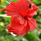 Chinese Hibiscus Red Flower Photo Design by MGMasonCreative