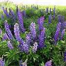 Jefferson Lupines by Wayne King