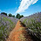 Lavender Fields by Caroline Gorka