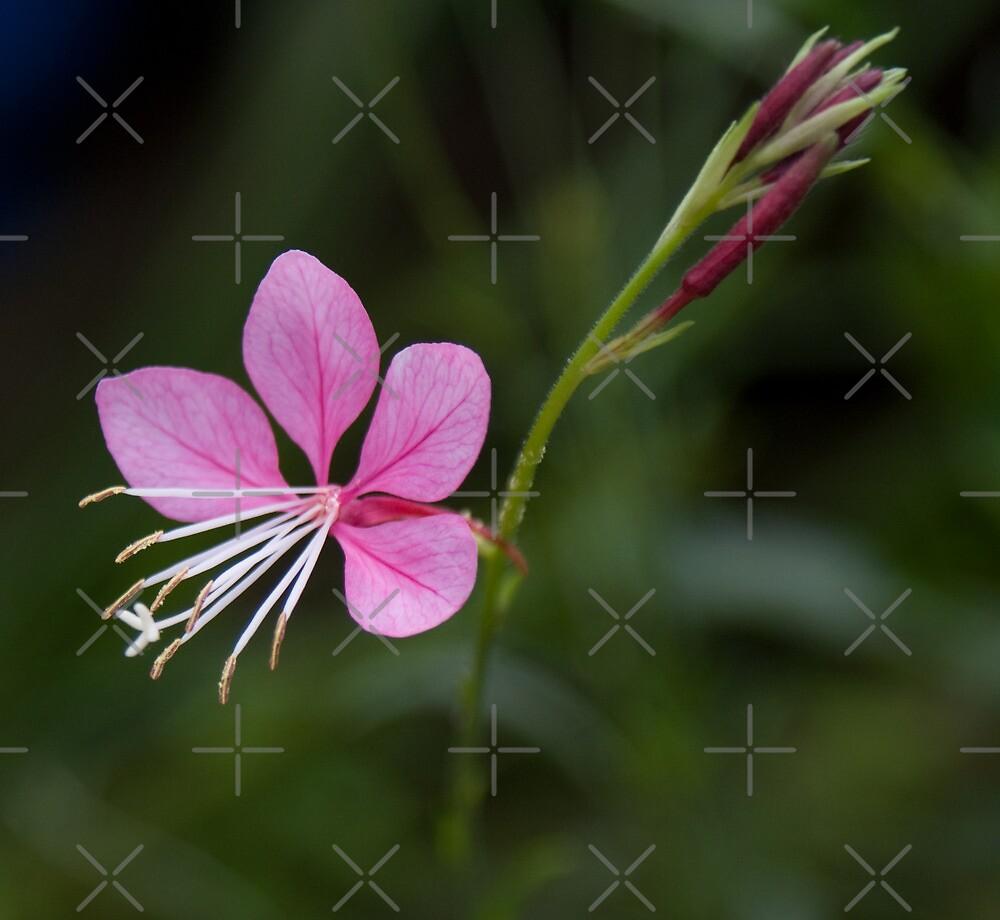 Compact Pink Gaura by Deborah McGrath