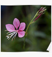 Compact Pink Gaura Poster