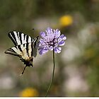 Scarce Swallowtail by cuprum