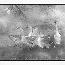 Geese  by CarolM