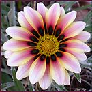 Pink, White and Yellow Gazania by Louise Page