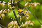 Cape May Warbler -  Ottawa, Ontario - 2 by Michael Cummings