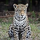 Jaguar (Panthera onca) by D R Moore