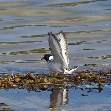 Hooded Plover by UncaDeej