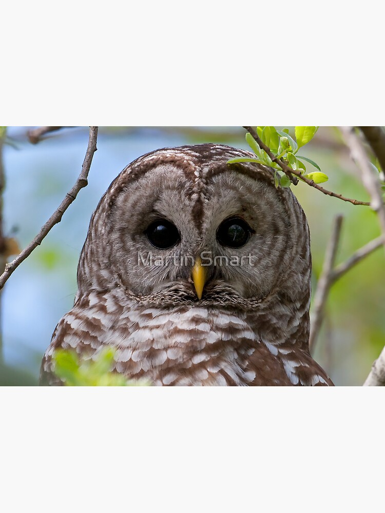 Barred Owl at McGregor Marsh by MartinSmart