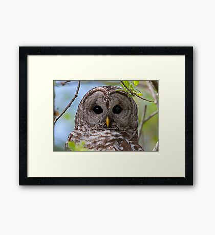 Barred Owl at McGregor Marsh Framed Print