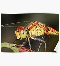 Diplacodes haematodes - female Poster