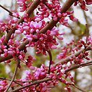 Red Buds by debbiedoda