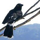 Currawong, Blue Mountains, Sydney by BronReid