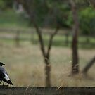 Magpie coping with the heat by BronReid