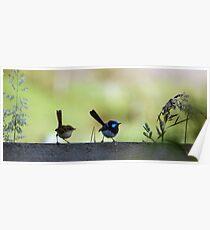 The hen-pecked husband (Superb Blue Fairy Wren) Poster