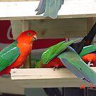 King Parrots feeding at Walhalla by BronReid