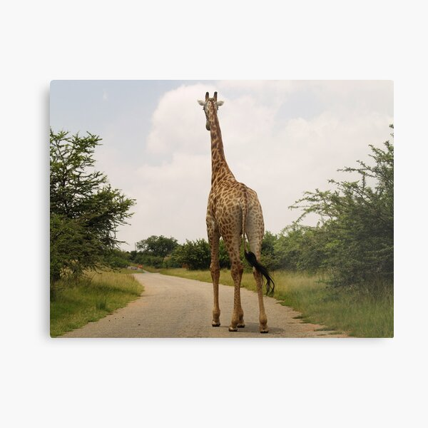 Giraffe On The Road Metal Print