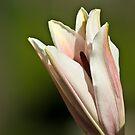 Pink lilium by Andrea Rapisarda