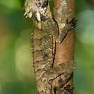 Boyd's Forest Dragon by FASImages