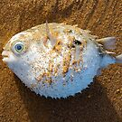 Puffer Fish by edesigned