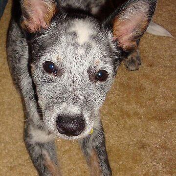australian cattle dog blue merle puppy by marasdaughter