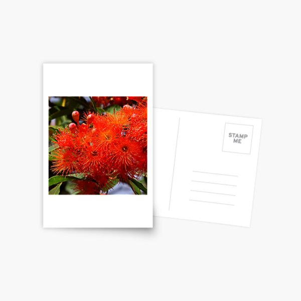Flowering Gum Postcard