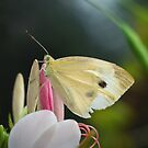 Pale Wing: Cabbage White Butterfly Perched on Flower by David Lamb