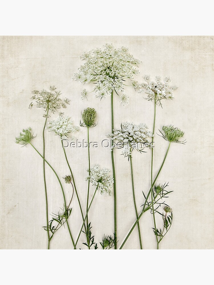 Queen Anne's Lace by DebbraO