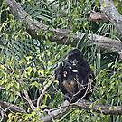 Black-handed Spider Monkey by D R Moore