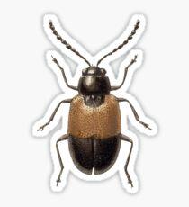 Hecataeus nigricollis Sticker
