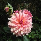 Otto's Thrill Dahlia by Pat Yager