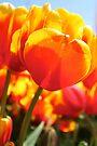 Tulip Heart by Emma Holmes