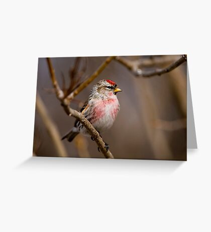 Male Common Redpoll - Shirley's Bay, Ottawa, Ontario Greeting Card