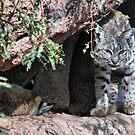 Bobcat in the Desert by Barbara Manis