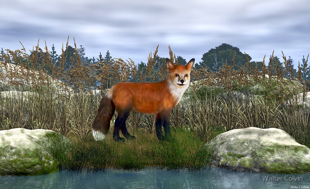 Red Fox by Walter Colvin