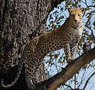 Perfect pose. Moremi Wildlife Reserve, Botswana by Neville Jones