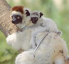 Beautiful baby sifaka by Anthony Brewer