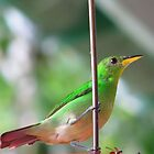 Female green honeycreeper by hummingbirds