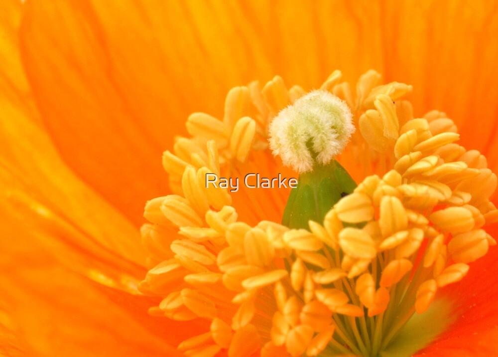 Orange Poppy by Ray Clarke
