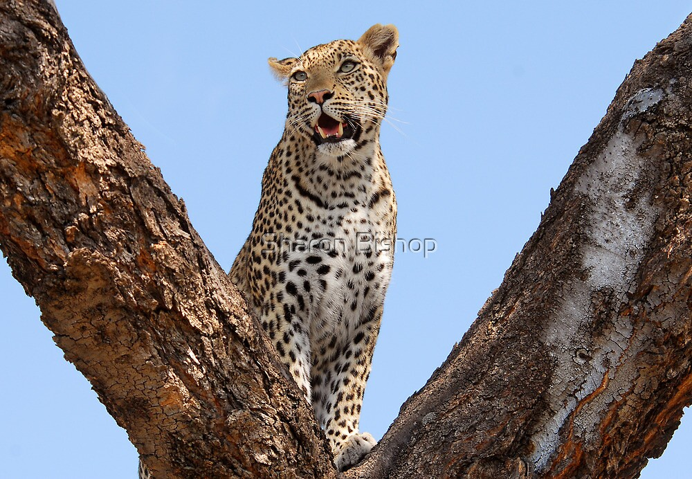 Female leopard, Okavango Delta by Sharon Bishop