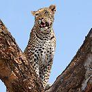 Female leopard, Okavango Delta by Sharon Bishop