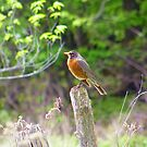 The Robin by marchello