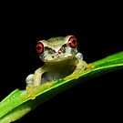 Baby Cusuco Spike-Thumb Frog by MyFrogCroaked