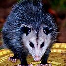 Backyard Opossum by georgiaart1974