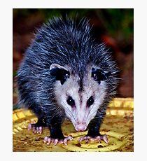 Backyard Opossum Photographic Print
