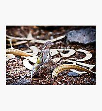 Zebra Tailed Lizard Photographic Print