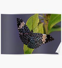 Red Cracker Butterfly - Tucson Botanical Gardens Poster
