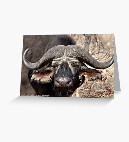 """""""IN PORTRAIT"""" of the older BUFFALO - *Syncerus caffer* Greeting Card"""