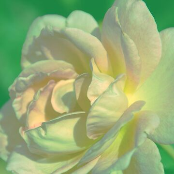 White Rose by susanne49